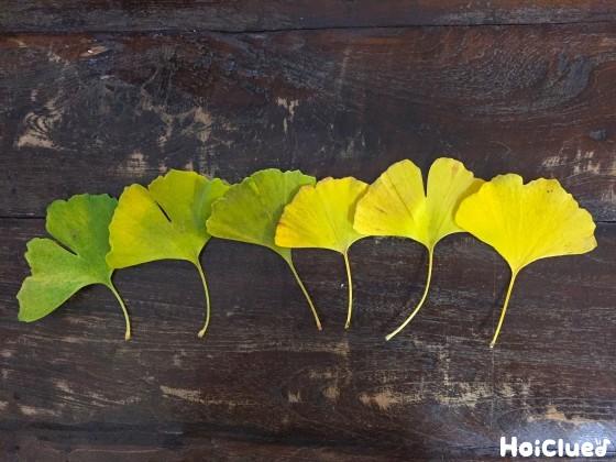 イチョウの葉の写真