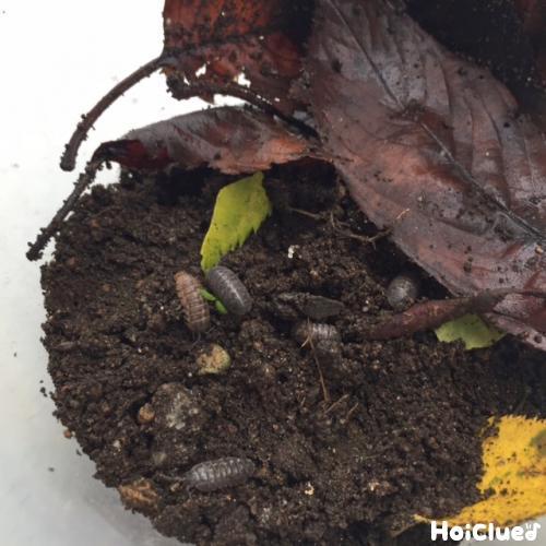 ダンゴムシの飼い方〜ダンゴムシの飼育に挑戦してみよう!〜