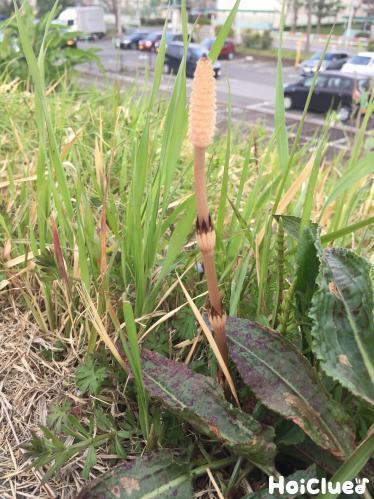 ツクシのひみつ〜身近な植物について知ろう〜