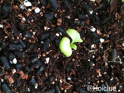 二葉の間に小さな葉が。期待していますよ〜。
