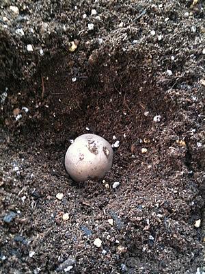 小さなじゃがいもを土に植えている写真