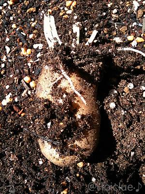 掘ってみたら芽が出ていたイモの写真