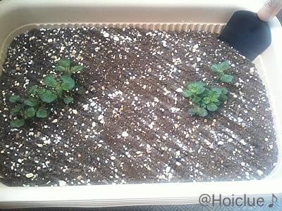 順調に成長している芽の様子