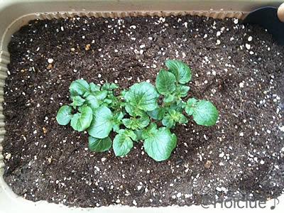 右側の芽を間引き左側のを中心に植え替えた様子