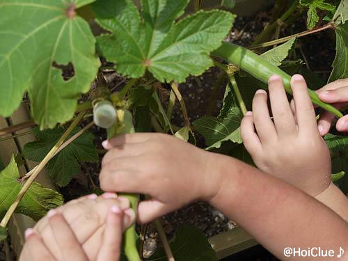 実った野菜を触る子どもたちの様子