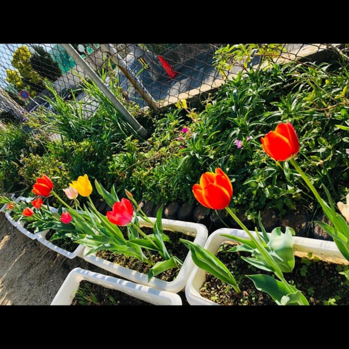 【アプリ投稿】4歳児 さいた〜さいた〜チューリップの花が〜チューリップ🌷