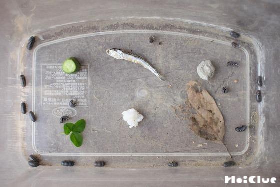 【自然遊び】ダンゴムシのレストラン