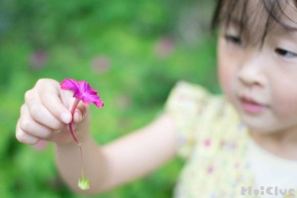 【自然遊び】オシロイバナのパラシュート〜素材/オシロイバナ〜