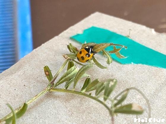 【自然遊び】てんとう虫の羽化を観察してみよう!〜虫/てんとう虫のサナギ〜