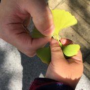 イチョウの葉の引っ張り相撲