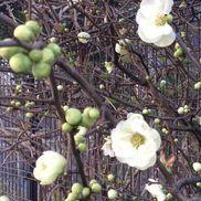 【春を感じる花】園の近くに咲いている木瓜(ボケ)の花です✨実が瓜に似た形をしているところから名前がついたそう、、、菜の花や桜も綺麗ですが、白と緑の柔らかな色合いが素敵で見ると優しい気持ちになれます。色は、他にも赤やピンクなど。